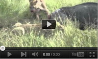 Video feed page - Predators (VERY GRAPHIC)