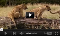 Video feed page - Big Cat Diary Series 1
